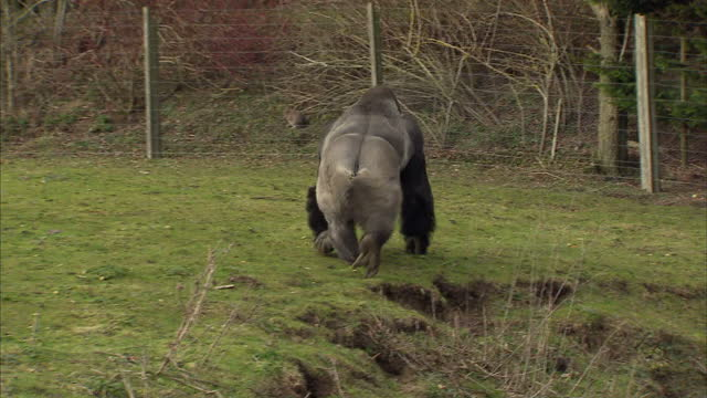 Exterior shots Ambam the silverback gorilla walking around his enclosure standing upright on his hind legs Ambam the Gorilla stands Upright like a...