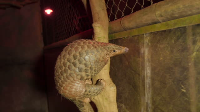 exterior shots at night time of a pangolin snuffling around its outdoor enclosure foraging for food and climbing trees on february 23, 2015 in hanoi,... - pangolino video stock e b–roll