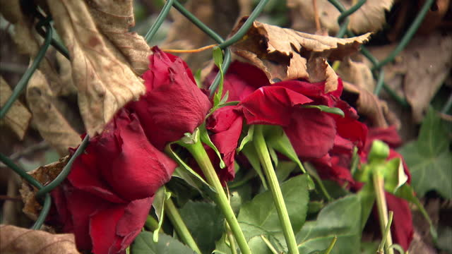 exterior shots country lane & stone wall with bouquet of red roses resting against the stone. spot where joanna yeates was murdered on october 14,... - bouquet stock videos & royalty-free footage