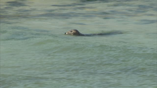 exterior shots crowd of onlooker at beach looking at seal swimming in the water on august 09 2016 in st ives england - robbe stock-videos und b-roll-filmmaterial