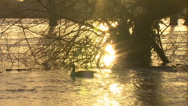 exterior shots ducks and swans swimming on flood water. sunset reflecting off of water. on in somerset, united kingdom. - aquatic organism stock videos & royalty-free footage