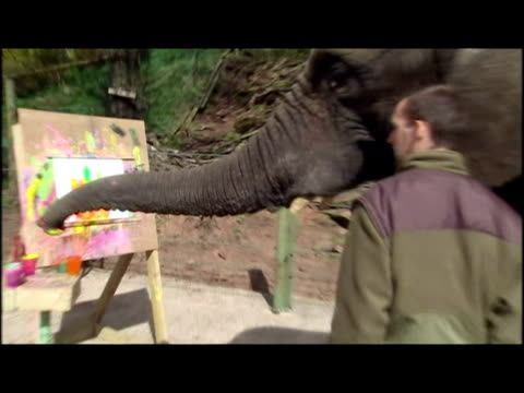 exterior shots 'five' the artistic elephant painting using trunk eng quirky animals at west midlands safari park on april 08 2009 in england - five animals stock videos and b-roll footage