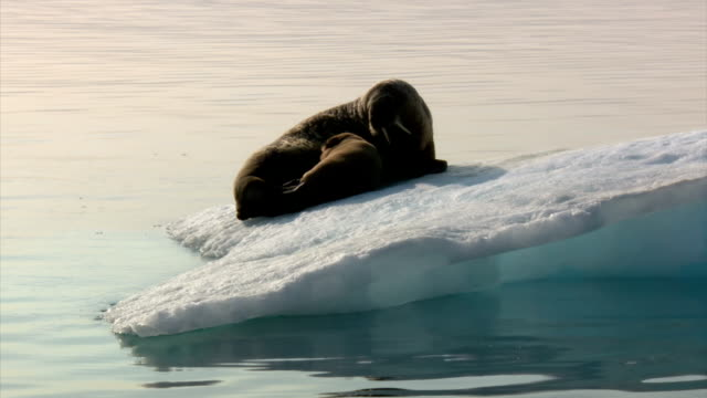 Exterior shots from a boat off the coast of Baffin Island with views of a female walrus resting with her pup on a small ice floe then heaving off the...