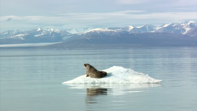 Exterior shots from a boat off the coast of Baffin Island with views of a female walrus resting with her pup on a small ice floe >> on August 08 2017...