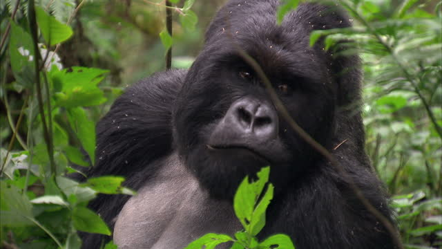 exterior shots gorilla in the rwandan jungle eating plants gorilla eating in natural habitat on august 11, 2010 in unspecified, rwanda - animals in the wild stock videos & royalty-free footage