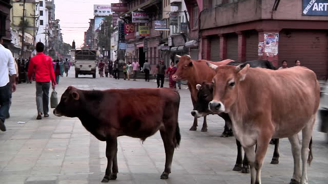 stockvideo's en b-roll-footage met exterior shots holy cow wanders past vegetable stalls holy cow standing in square with small herd of disciples. nepal & kathmandu stockshots on... - apostel