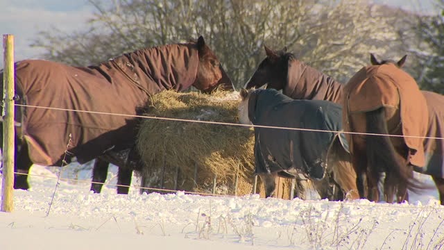 Exterior shots horses wearing winter coats foraging in snow covered field on 11th December 2017 Cinderford