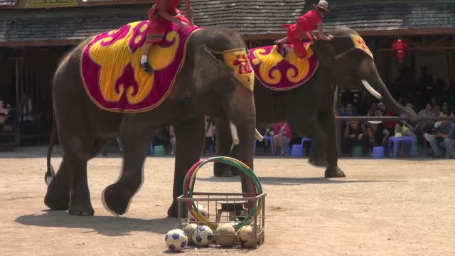 exterior shots hrh prince william feeding carrots to elephant in sanctuary, exterior shots dressed up elephants performing for crowds near sanctuary,... - enclosure stock videos & royalty-free footage