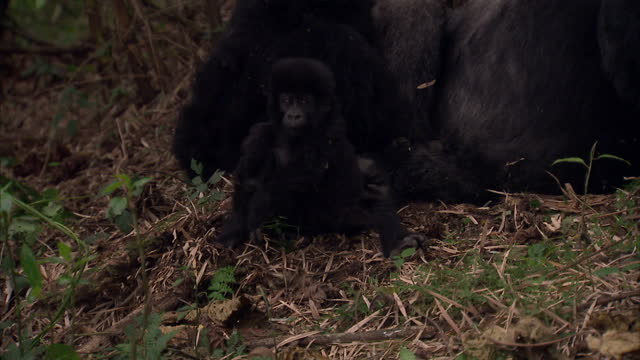 Exterior shots infant Silverback Gorilla in the jungle with parents Gorillas In The Jungle Including Infant on August 11 2010 in UNSPECIFIED Rwanda
