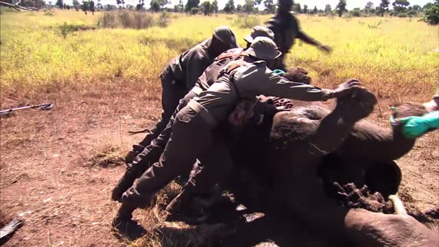 Exterior shots Kruger National Park rangers roll over dead carcass of poached adult rhino inspect the various traumas inflicted taking specimens...