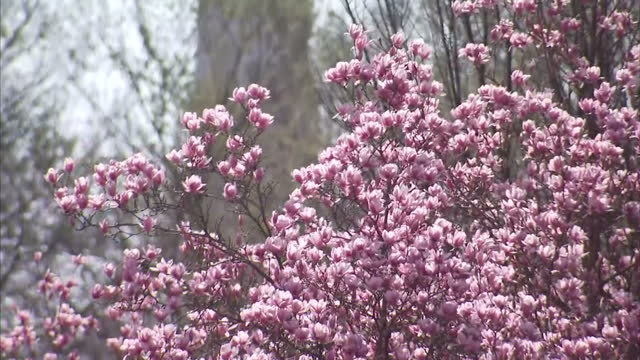 exterior shots magnolia blossom on trees squirrel rummaging around grass in park on march 16 2016 in washington dc - blossom stock videos & royalty-free footage