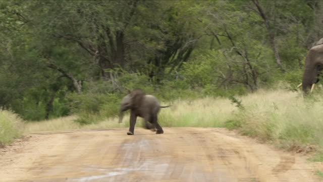 exterior shots of a baby elephant running across road in the kruger national park on 9th april 2018, pretoria, south africa. - endangered species stock videos & royalty-free footage