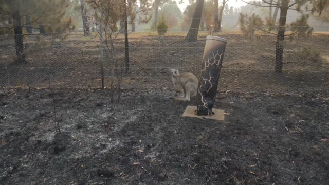 vídeos y material grabado en eventos de stock de exterior shots of a baby kangaroo sat amid blackened remains of bush in the aftermath of forest fires on 25 december 2019 in clarence, new south... - australia