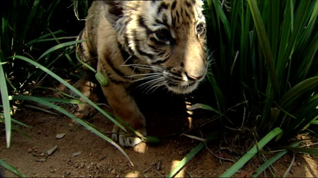 exterior shots of a baby south china tiger cub eating and walking around its enclosure on march 03, 2008 in bloemfontein, south africa. - enclosure stock videos & royalty-free footage