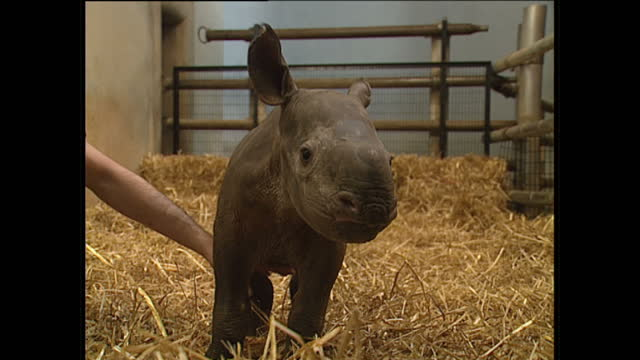 exterior shots of a black rhino calf in a pen being fed milk by keepers at zoo playing with keepers on january 19 1989 in london england - rhinoceros stock videos & royalty-free footage
