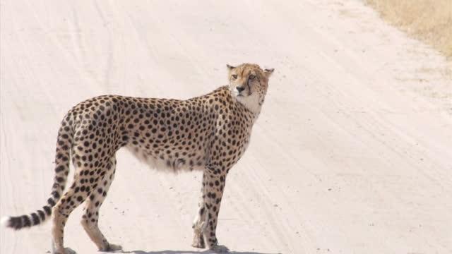 Exterior shots of a cheetah walking around on Hwange National Park on August 07 2015 in Hwange Zimbabwe