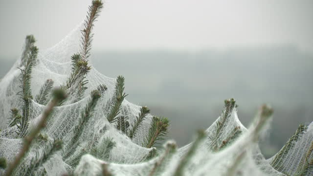 GBR: Christmas trees for sale in Sevenoaks