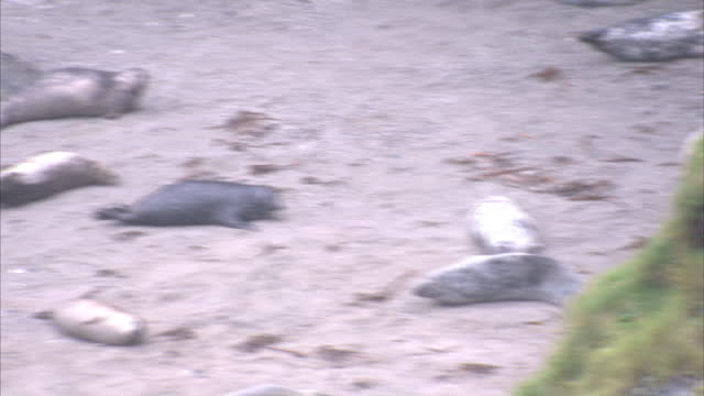exterior shots of a colony of grey seals washed up on a rocky cornish beach lounging about and playing on december 28 2014 in gweek england - zurücklehnen stock-videos und b-roll-filmmaterial