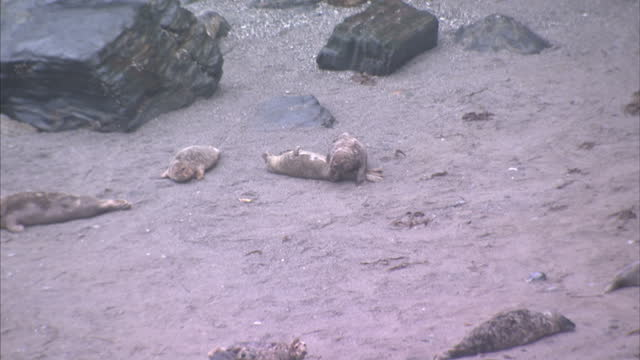 Exterior shots of a colony of grey seals washed up on a rocky Cornish beach lounging about and playing on December 28 2014 in Gweek England