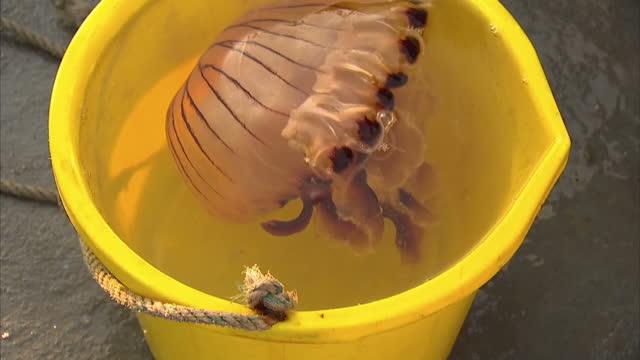 vídeos y material grabado en eventos de stock de exterior shots of a compass jellyfish in a bucket on board a boat off the coast of newquay>> on july 25 2014 in newquay england - cnidario