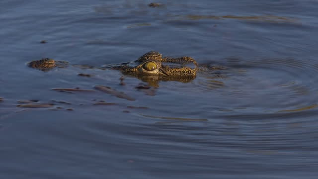 Exterior shots of a crocodile swimming in the Zambezi River on August 07 2015 in Hwange Zimbabwe