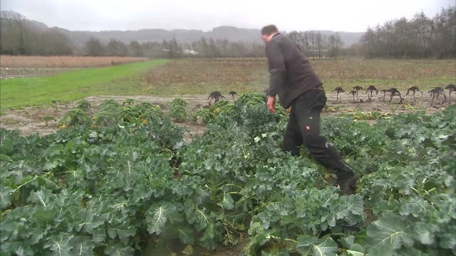 Exterior shots of a farmer in a field harvesting cabbages by hand on February 03 2017 in Bedford England