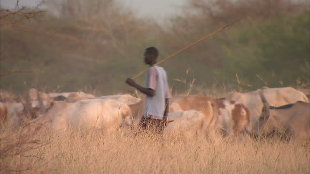 exterior shots of a farmer walking with his cattle of cows through farmland in southern sudan the cattle graze on dried out grass farmer cattle on... - cattle stock videos & royalty-free footage