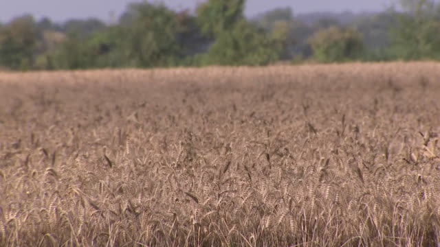 exterior shots of a field of wheat with close ups of the ears of wheat on 23 august 2020 in bristol, united kingdom - field stock videos & royalty-free footage