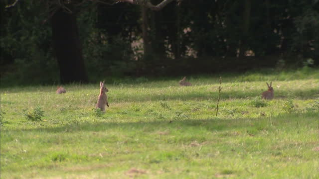 vidéos et rushes de exterior shots of a field with a large number of wild rabbits hopping around on august 07 2016 in bristol england - lapin
