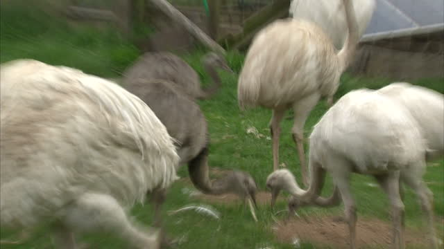 stockvideo's en b-roll-footage met exterior shots of a flock of rheas grazing and pecking at bread given as a treat on a farm near salisbury.>> on june 25, 2015 in salisbury, united... - pikken