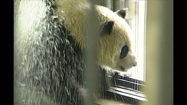 exterior shots of a giant panda in a breeding centre in chengdu being hosed down on may 13th in chengdu china - bamboo plant stock videos & royalty-free footage