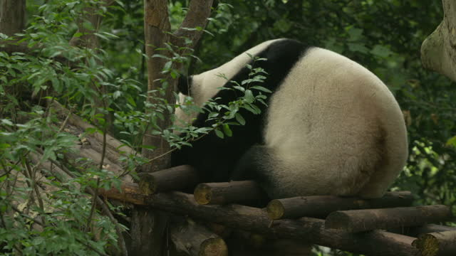 exterior shots of a giant panda in its zoo enclosure as visitors file past taking videos and photos on their smartphones on july 23 2016 in chengdu... - 成都点の映像素材/bロール