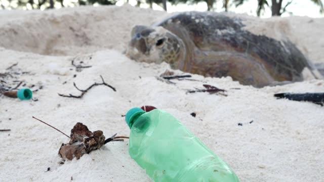 vídeos de stock, filmes e b-roll de exterior shots of a giant tortoise making its way out to sea, past a plastic bottle on 17 march 2019 in aldabra, seychelles - poluição do plástico