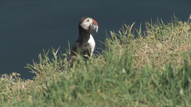 exterior shots of a group of puffins seen relaxing, including long shots, close ups, walking and with fish in mouth on skomer island, pembrokeshire... - pembrokeshire bildbanksvideor och videomaterial från bakom kulisserna