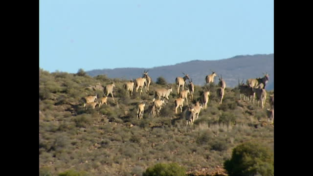 Exterior shots of a herd of antelope grazing on the Sanbona nature reserve on November 17 2004 in Montagu South Africa