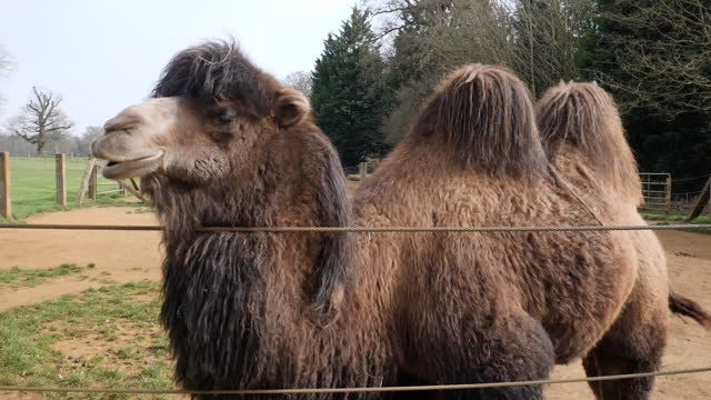 exterior shots of a herd of camels in an enclosure at cotswold wildlife park on 5 april 2021 in bradwell grove, united kingdom - camel stock videos & royalty-free footage