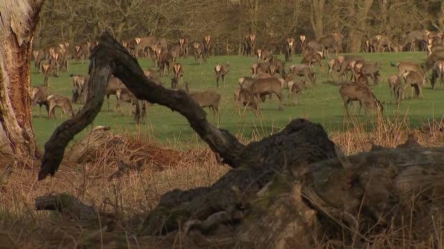 exterior shots of a herd of deer grazing in windsor great park on 16 april 2021 in windsor, united kingdom - deer stock videos & royalty-free footage