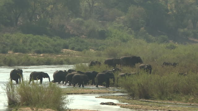 exterior shots of a herd of elephants grazing and drinking water from a river in the kruger national park on 22 september 2016 in south africa - krüger nationalpark stock-videos und b-roll-filmmaterial