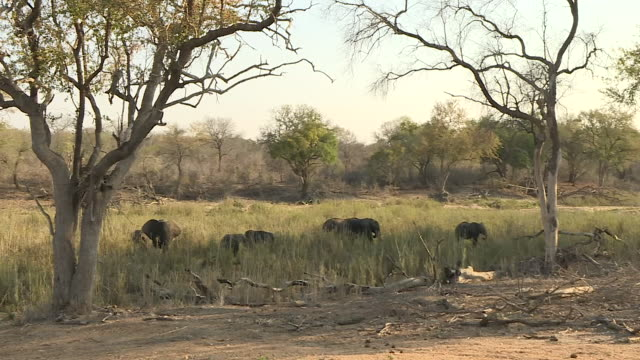 exterior shots of a herd of elephants grazing and drinking water from a river in the kruger national park on 22 september 2016 in south africa - 自然保護区点の映像素材/bロール