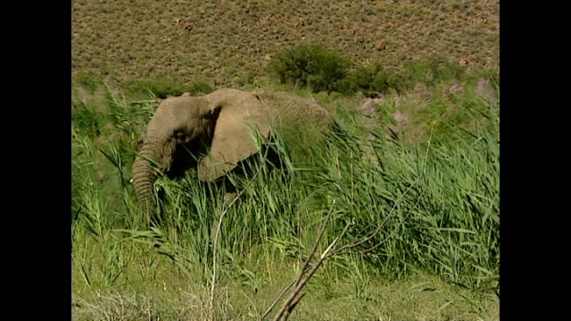 Exterior shots of a herd of elephants grazing on the Sanbona nature reserve on November 17 2004 in Montagu South Africa