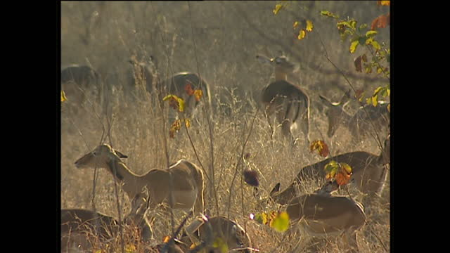 vídeos de stock, filmes e b-roll de exterior shots of a herd of gazelles in their natural habitats on july 26, 2002 in kruger national park, south africa. - áfrica meridional