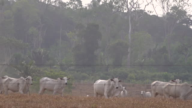exterior shots of a herd of indu-brasil white cattle standing in a field near bushfires in the amazon rainforest on 25 august 2019 in unspeficied,... - cattle stock videos & royalty-free footage