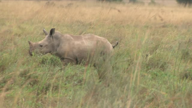 exterior shots of a herd of rhino on nairobi national park on 30 august 2018 in nairobi kenya - threatened species stock videos & royalty-free footage
