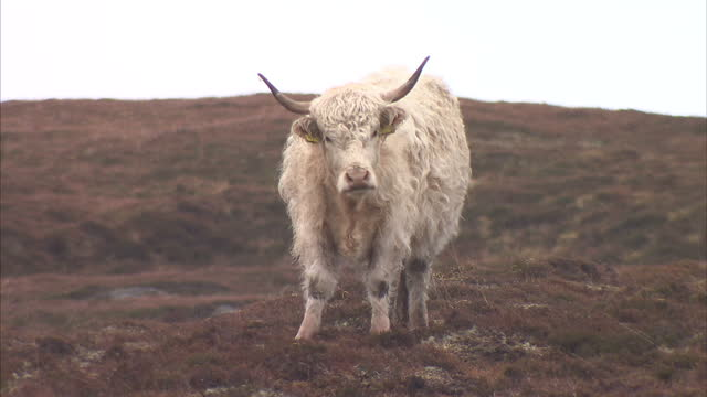 exterior shots of a highland cow staring into the camera lens on march 19, 2015 on the isle of lewis, scotland. - äußere hebriden stock-videos und b-roll-filmmaterial