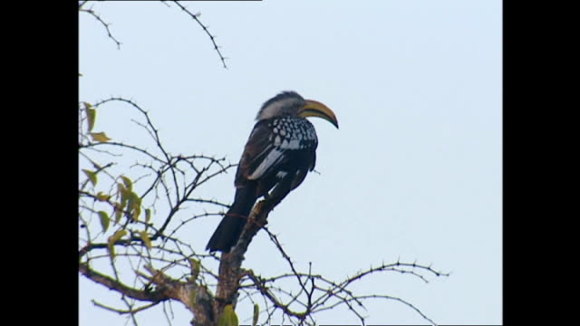 Exterior shots of a Hornbill bird sat in a tree on the Sabi Sabi game reserve on July 25 2002 in Krugersdorp South Africa