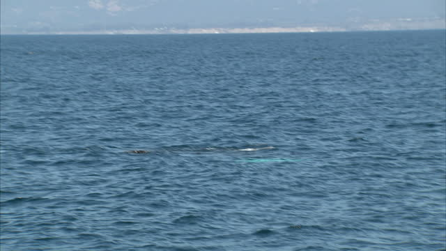 stockvideo's en b-roll-footage met exterior shots of a humpback whale swimming at sea off the coast of santa barbara from a whale watching boat on october 19 2014 in santa barbara... - cetacea