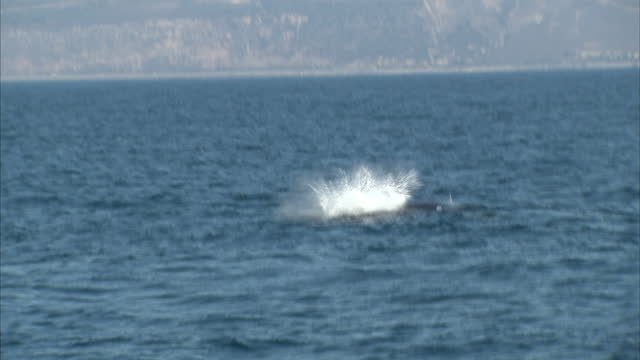 stockvideo's en b-roll-footage met exterior shots of a humpback whale swimming off the santa barbara coastline from a whale watching ship on october 19 2014 in santa barbara california - cetacea