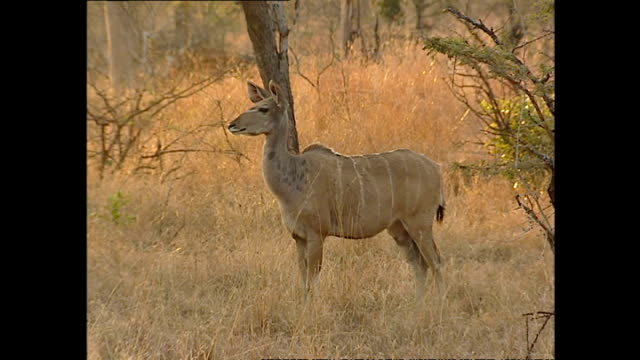 Exterior shots of a kudu buck grazing on the Sabi Sabi game reserve on July 25 2002 in Krugersdorp South Africa