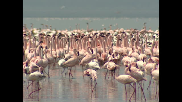 exterior shots of a large group of flamingos congregated in lake nakuru on august 01, 2002 in lake nakuru, kenya. - flamingo bird stock videos & royalty-free footage