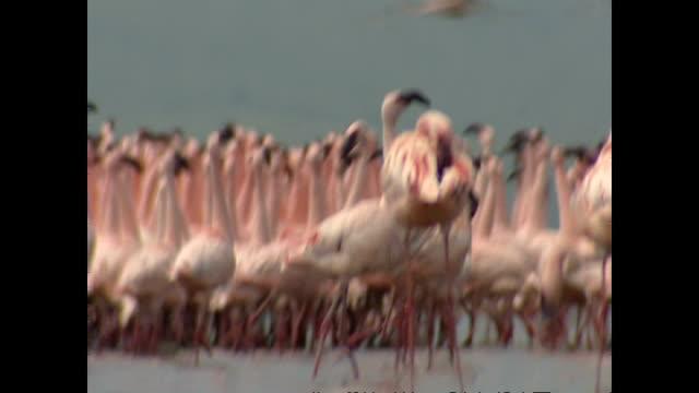 Exterior shots of a large group of flamingos congregated in Lake Nakuru on August 01 2002 in Lake Nakuru Kenya
